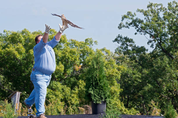 hawk gone wild - wildlife conservation stock photos and pictures