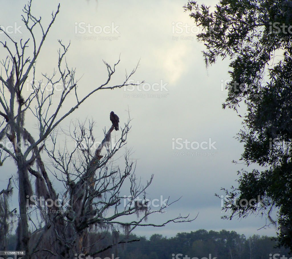 Hawk in a tree on a dark cloudy morning stock photo