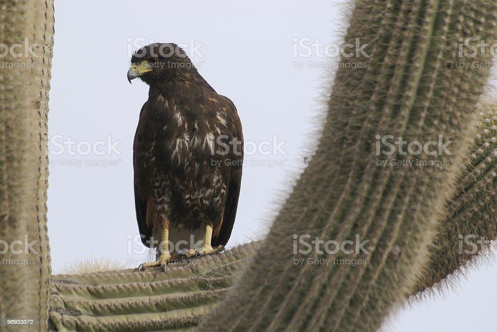 Hawk in cactus royalty-free stock photo