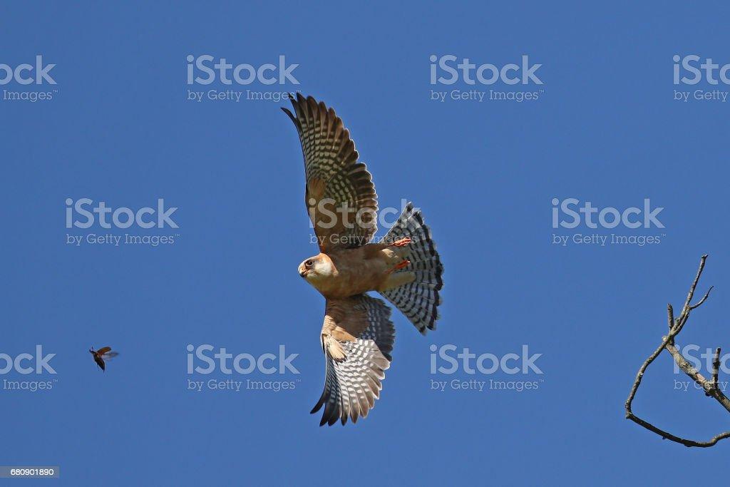 Hawk in flight hunting beetle royalty-free stock photo