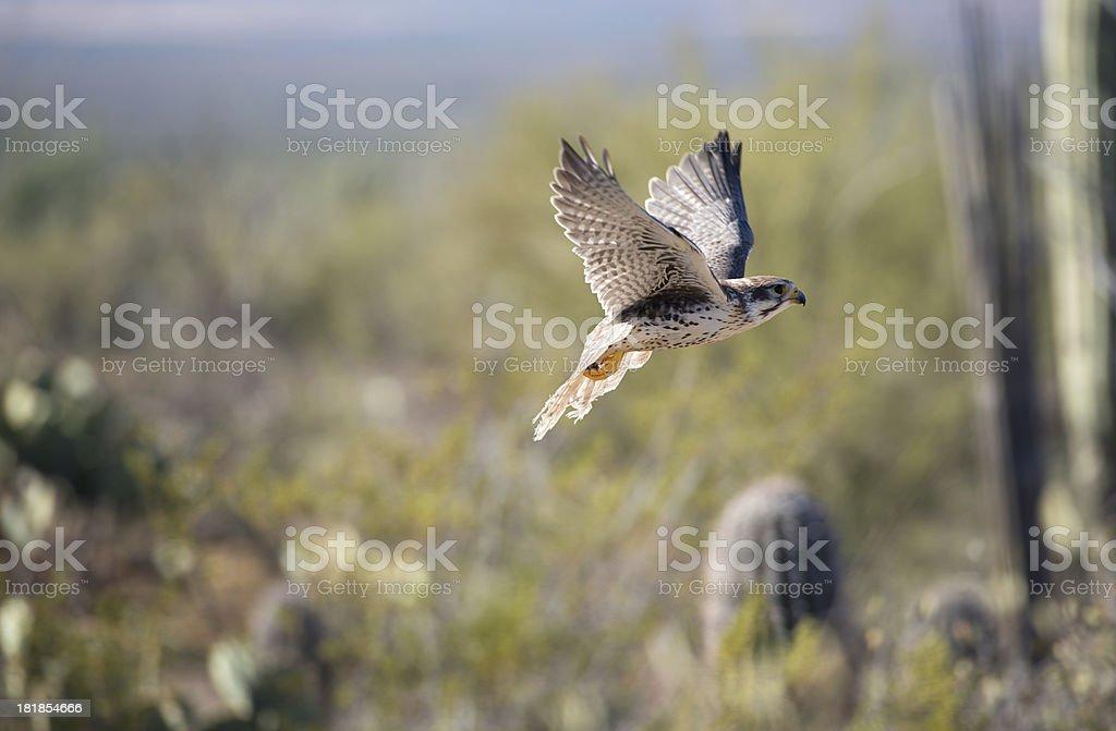 Hawk in flight royalty-free stock photo
