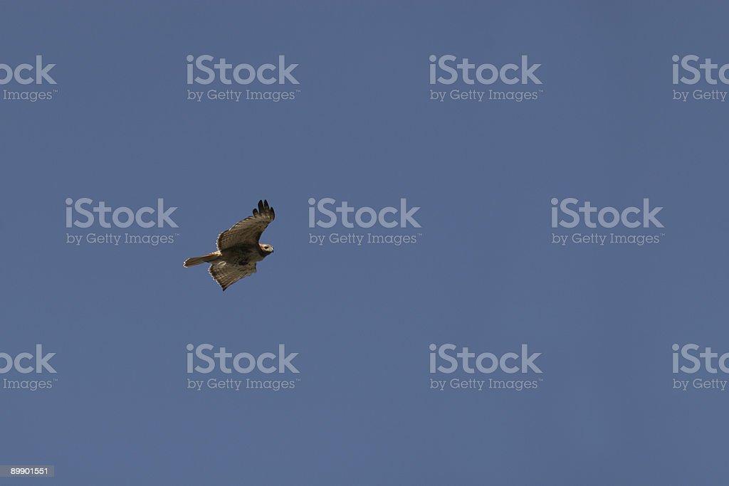 Hawk en vuelo foto de stock libre de derechos