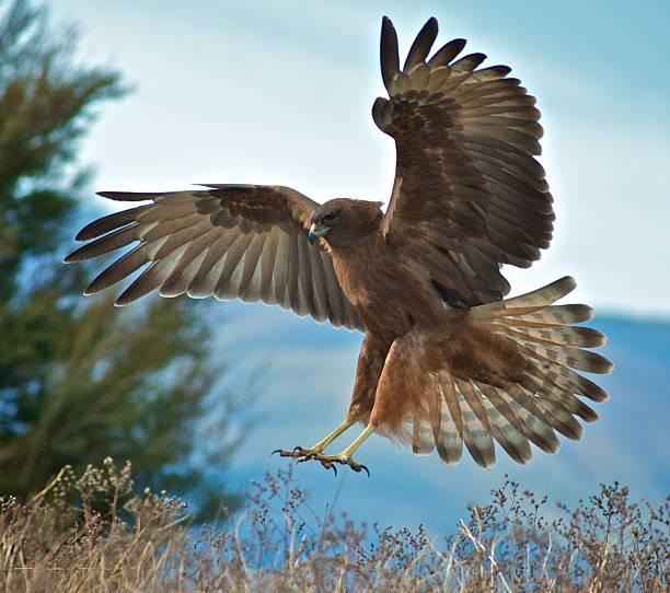 hawk landing - hawk bird stock photos and pictures