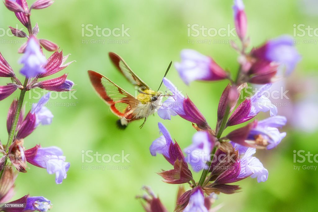 Hawk moth flying and eating pollen in a flower stock photo