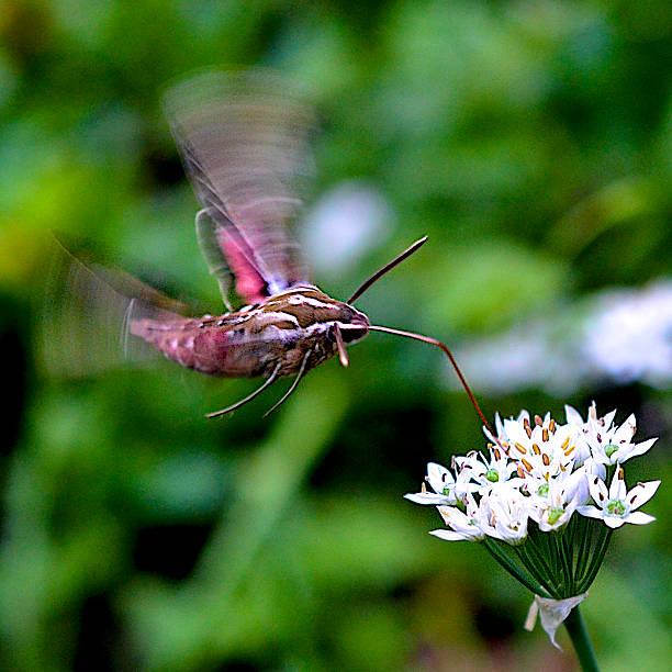 Hawk Moth in Flight stock photo
