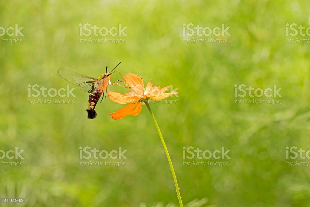 Hawk Moth on flower,Butterfly on orange flower stock photo