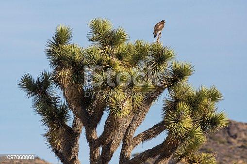 A wild hawk sitting on a Joshua Tree in Joshua Tree National Park in California.
