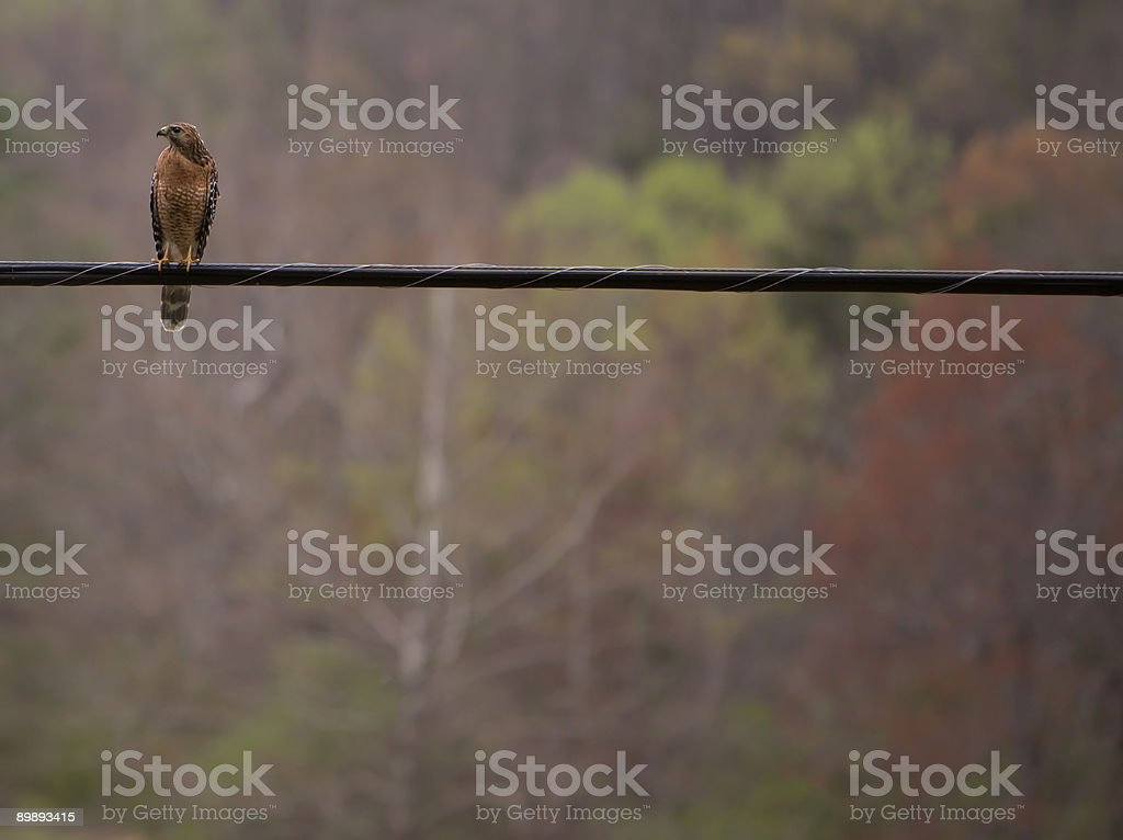 Hawk on a wire royalty-free stock photo