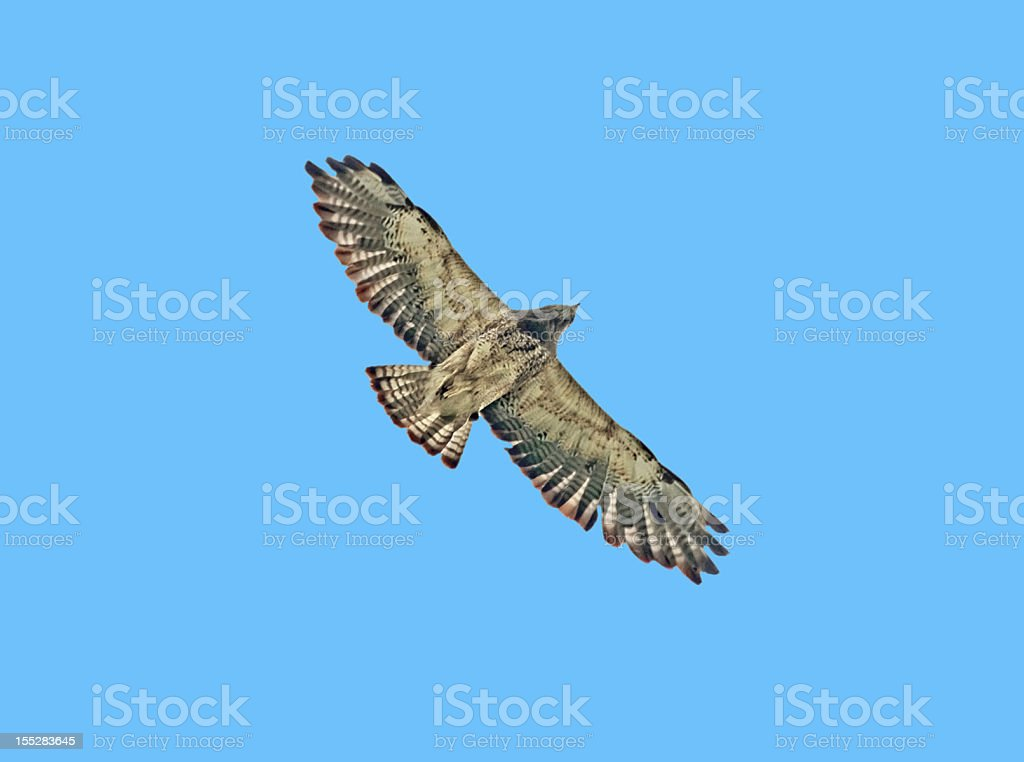 Hawk on Blue ... From Below royalty-free stock photo