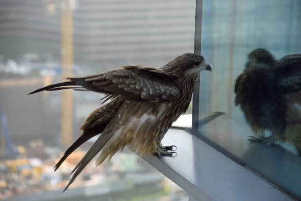 Hawk on skyscraper window stock photo