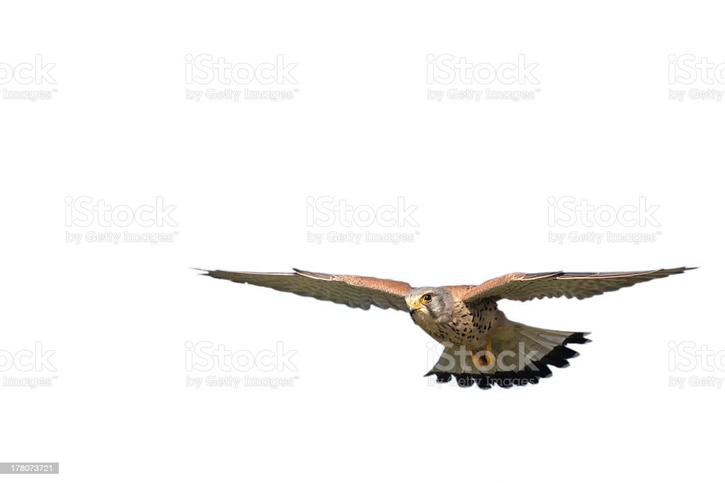 hawk on white royalty-free stock photo