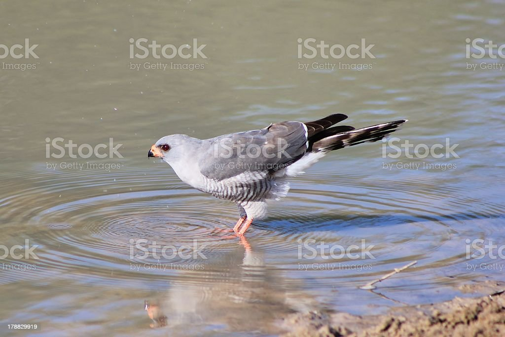 Hawk, Pale Chanting - Ripples of Life and Color royalty-free stock photo