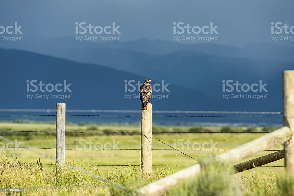 Hawk Perch stock photo