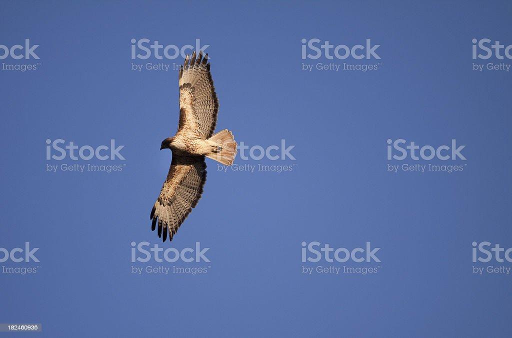 Hawk foto royalty-free