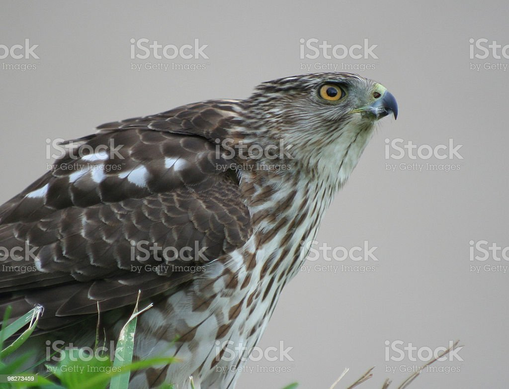 Hawk royalty-free stock photo
