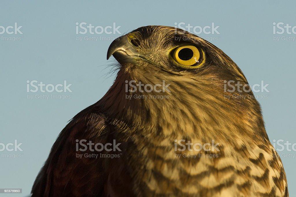 Hawk portrait against blue sky royalty-free stock photo