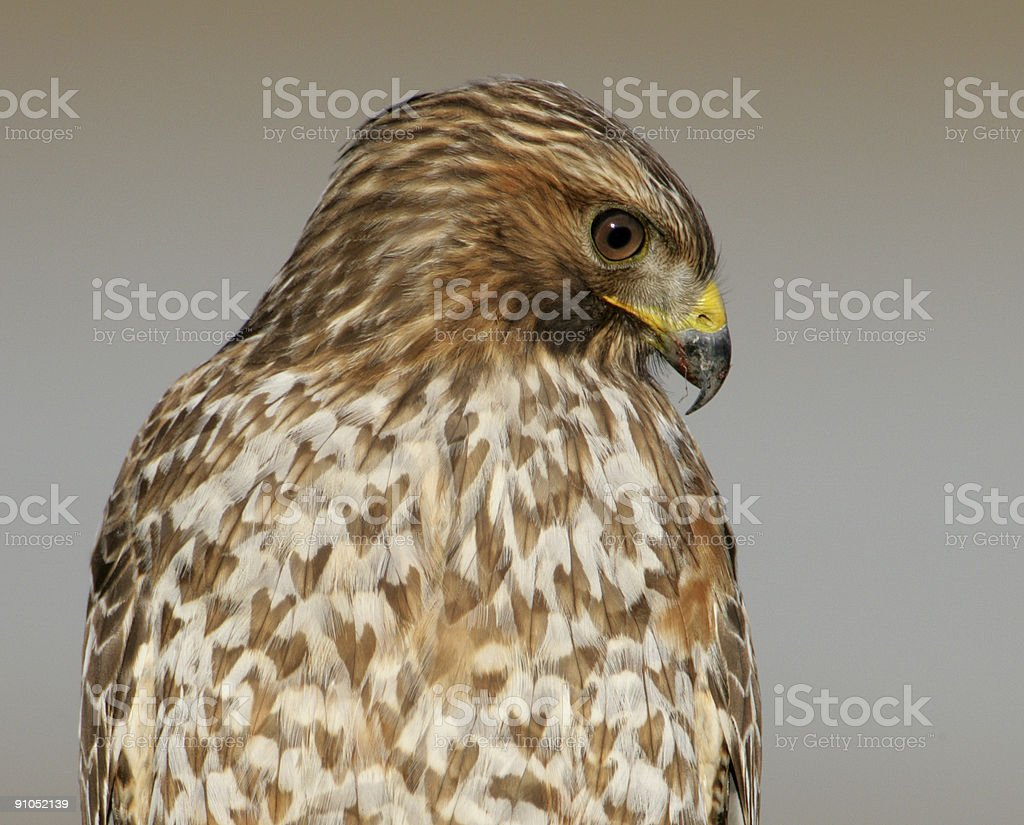 Hawk Red-Tailed stock photo
