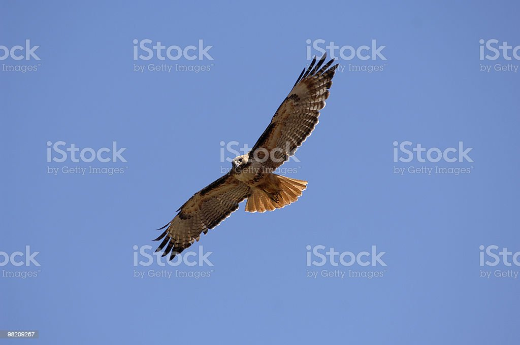 Hawk, Red-Tailed, Soaring In Blue Sky royalty-free stock photo