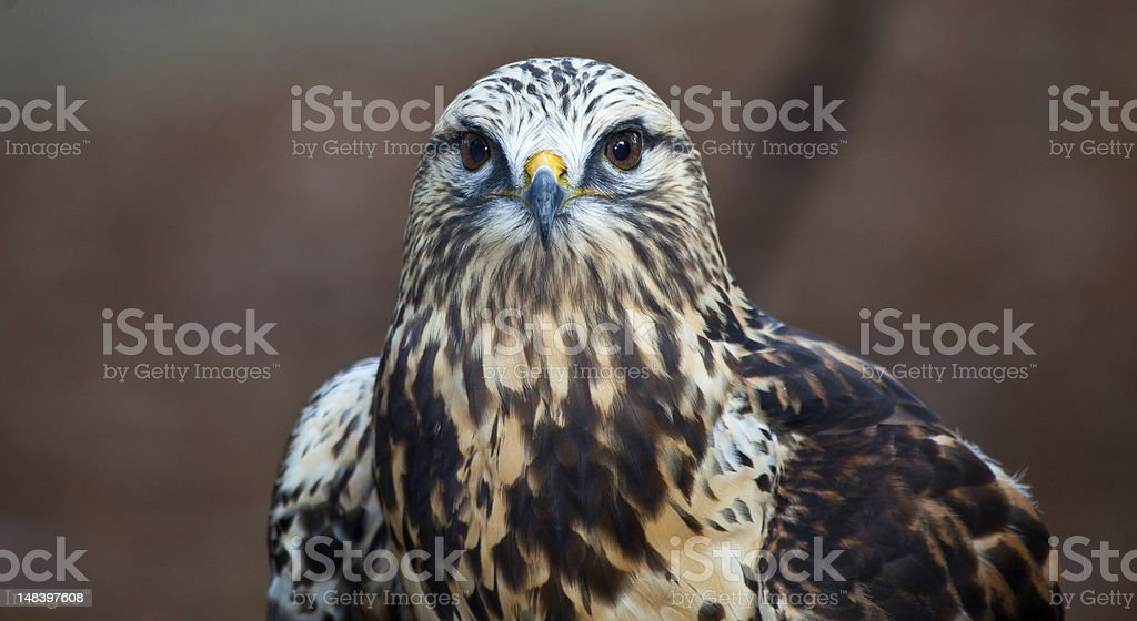 Hawk Searching for Prey stock photo