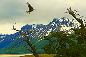 Hawk taking off up above, hunting over trees – El Calafate, Patagonia Argentina