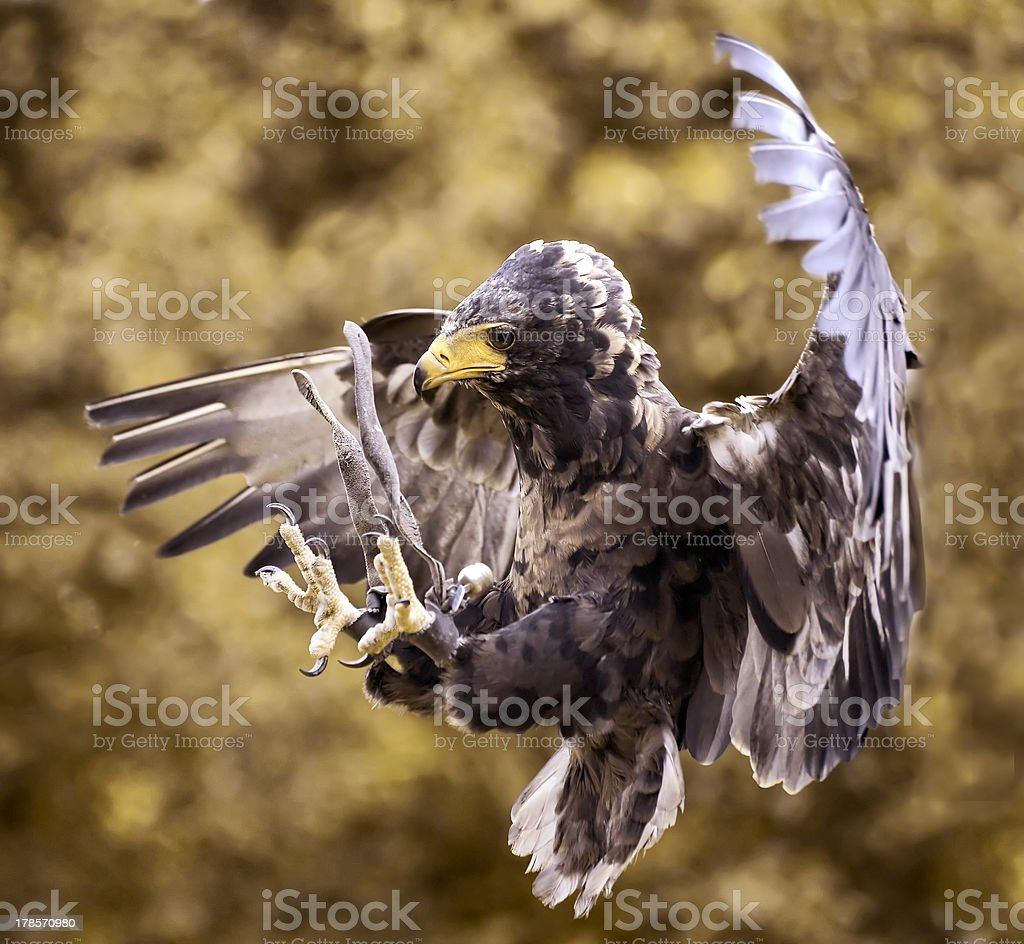 Hawk's  attack royalty-free stock photo