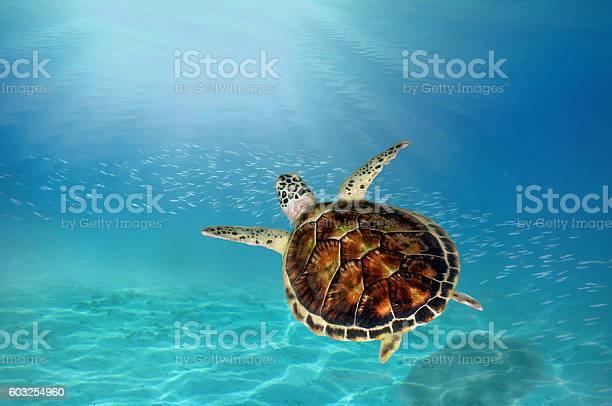 Hawks bill sea turtle dive down picture id603254960?b=1&k=6&m=603254960&s=612x612&h=extt9xame1yomucfuzidwevrngitcbkzo1 abzeynrq=
