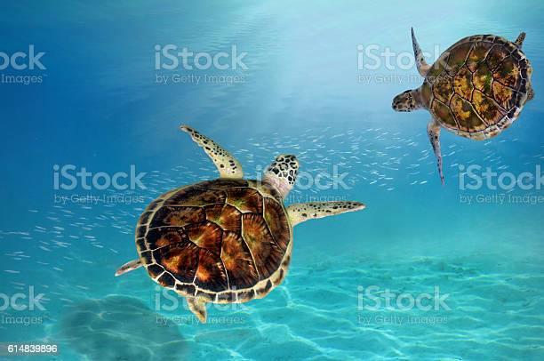 Hawks bill sea turtle dive down picture id614839896?b=1&k=6&m=614839896&s=612x612&h=j qc s5ssbzywy0l 2amaxega3mj9fozm9tubr071ie=