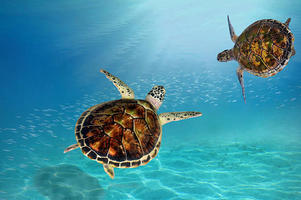 hawks bill sea turtle dive down stock photo