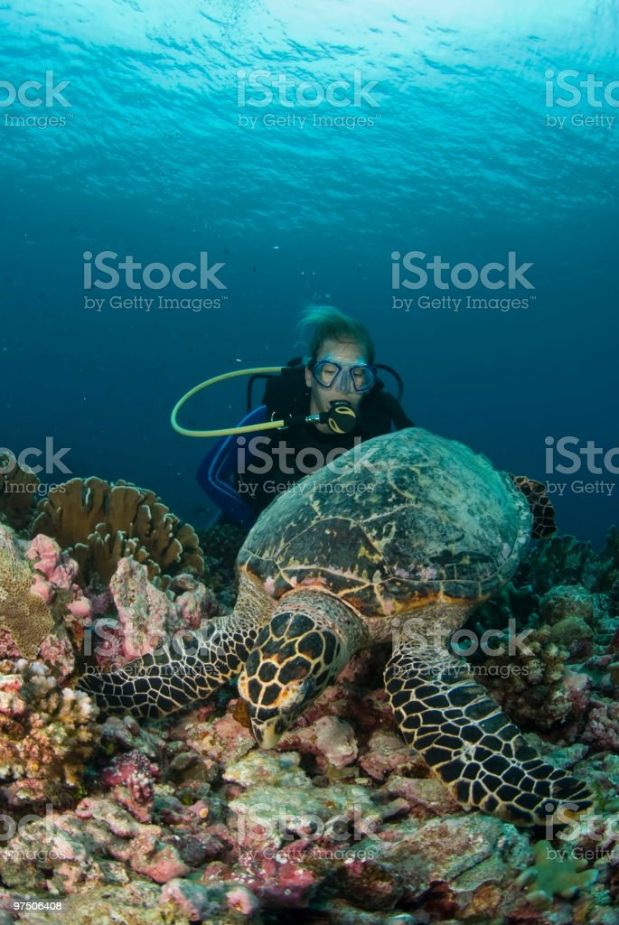 hawksbill and scuba diver from behind royalty-free stock photo
