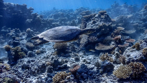 Hawksbill Sea Turtle at Apo Reef Wall #3 Hawksbill Sea Turtle at Apo Reef Wall #3 apothegm stock pictures, royalty-free photos & images