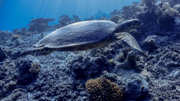Hawksbill Sea Turtle at Apo Reef Wall #5 Hawksbill Sea Turtle at Apo Reef Wall #5 apothegm stock pictures, royalty-free photos & images