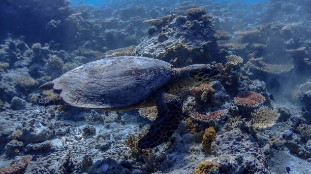 Hawksbill Sea Turtle at Apo Reef Wall #6 Hawksbill Sea Turtle at Apo Reef Wall #6 apothegm stock pictures, royalty-free photos & images