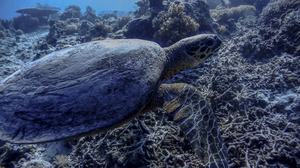 Hawksbill Sea Turtle at Apo Reef Wall #7 Hawksbill Sea Turtle at Apo Reef Wall #7 apothegm stock pictures, royalty-free photos & images