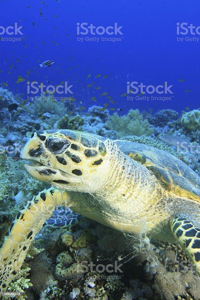 Hawksbill Żółwiowy żucia Coral zbiór zdjęć royalty-free