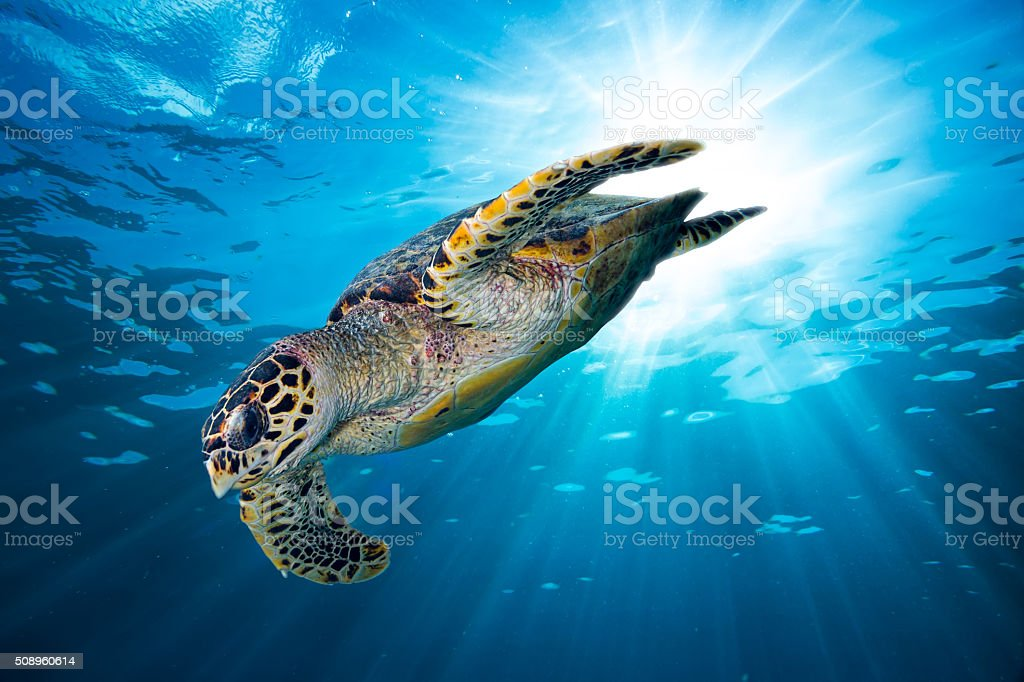 hawksbill sea turtle dive down into the deep blue ocean stock photo