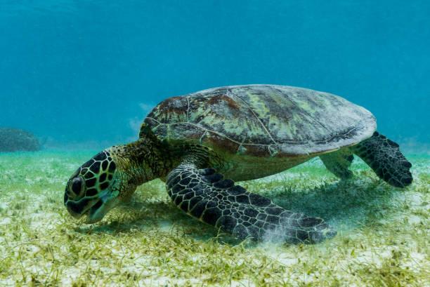 Hawksbill sea turtle feeding on sea weed grass in shallow water stock photo