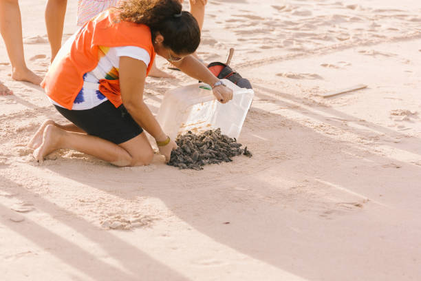 Hawksbill sea turtle hatchlings being released to sea by a volunteer of a turtle conservation program - NGO Guajiru stock photo