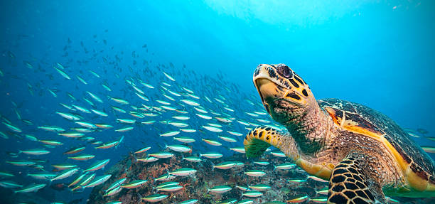 hawksbill sea turtle in indian ocean - tartaruga marina foto e immagini stock