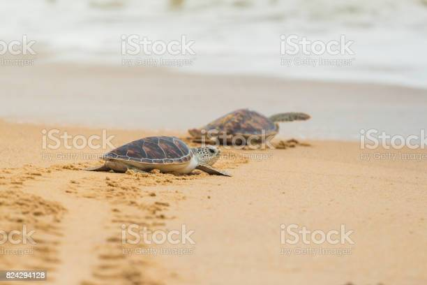Hawksbill sea turtle on the beach thailand picture id824294128?b=1&k=6&m=824294128&s=612x612&h=2sz4f  pi5v5bko82mlfefu atyzrj7lj7pbzs8x wm=