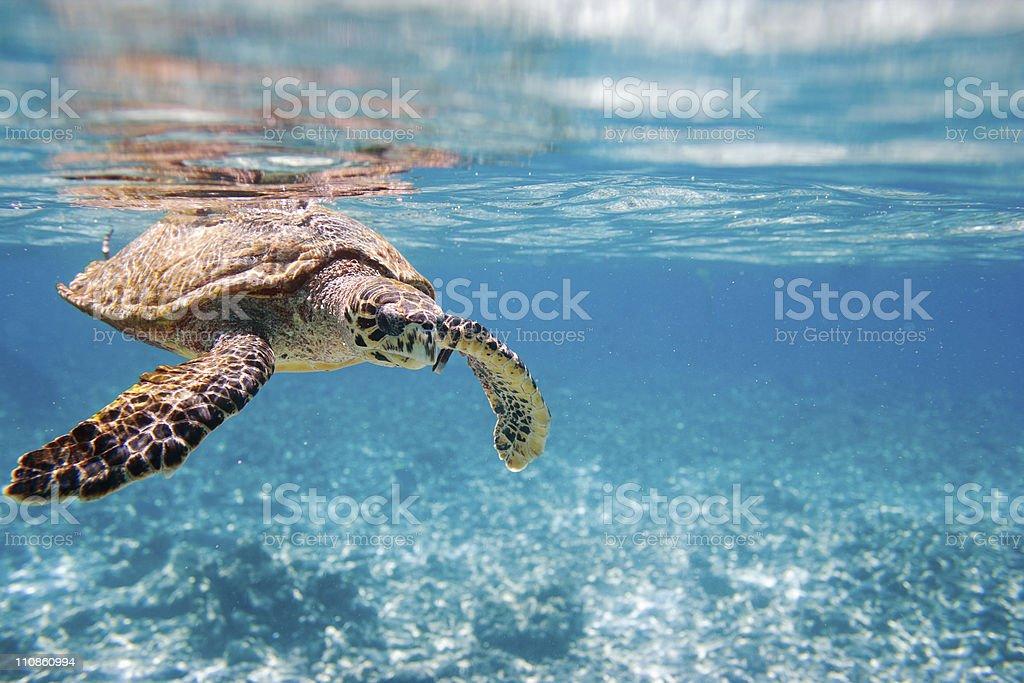 Karettschildkröte Meeresschildkröte – Foto