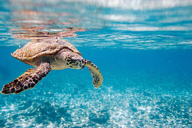 hawksbill 바다 거북이 - 세이셸 뉴스 사진 이미지