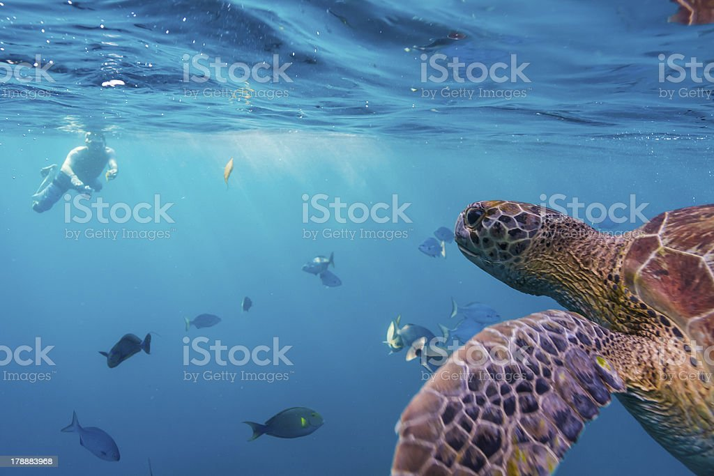 Hawksbill sea turtle royalty-free stock photo