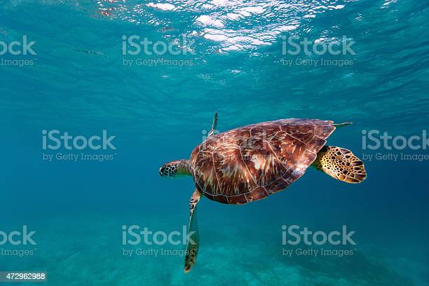 Hawksbill sea turtle picture id472962988?b=1&k=6&m=472962988&s=612x612&h=bkrfamndzoyqqlz1olyjmbpwqe4aoaauoypwgbvbmei=