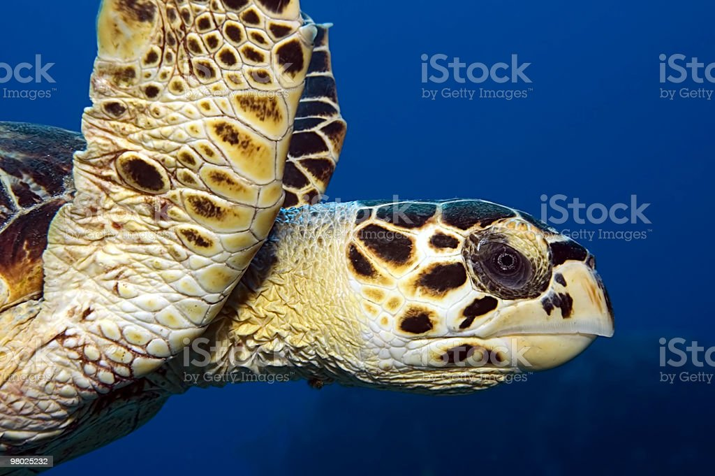 Tartaruga embricata profilo foto stock royalty-free