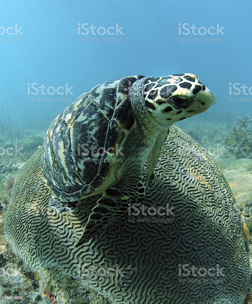 Hawksbill sea turtle resting on brain coral stock photo