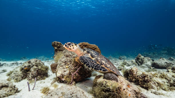 Hawksbill Sea Turtle swim in turquoise water of coral reef in Caribbean Sea / Curacao stock photo