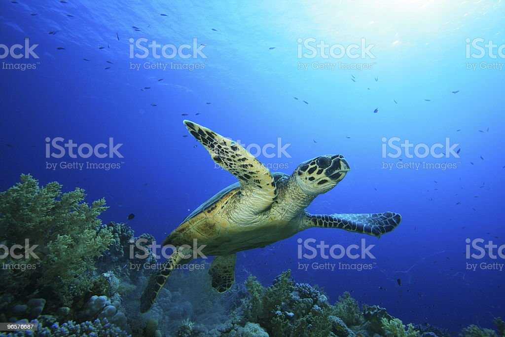 A hawksbill sea turtle swimming in the ocean - Royalty-free Animal Stock Photo