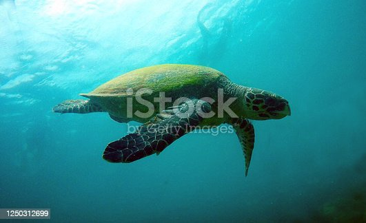A critically endangered hawksbill sea turtle swimming in the open ocean