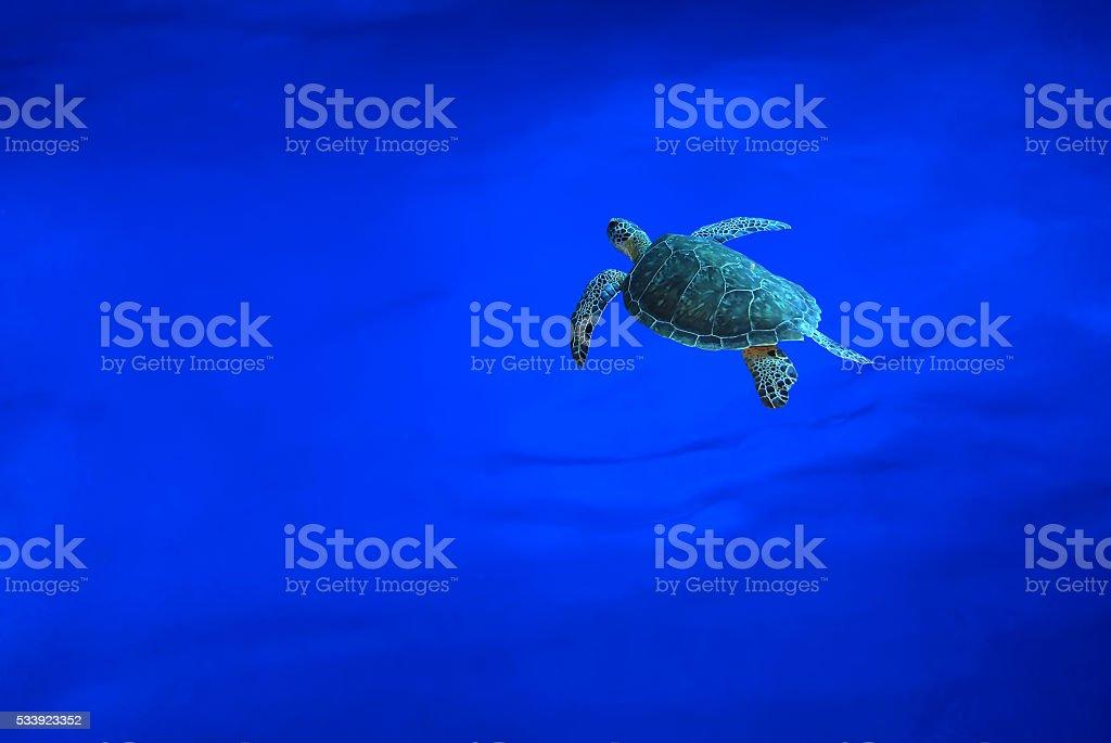 Hawksbill Sea Turtle swims below surface stock photo