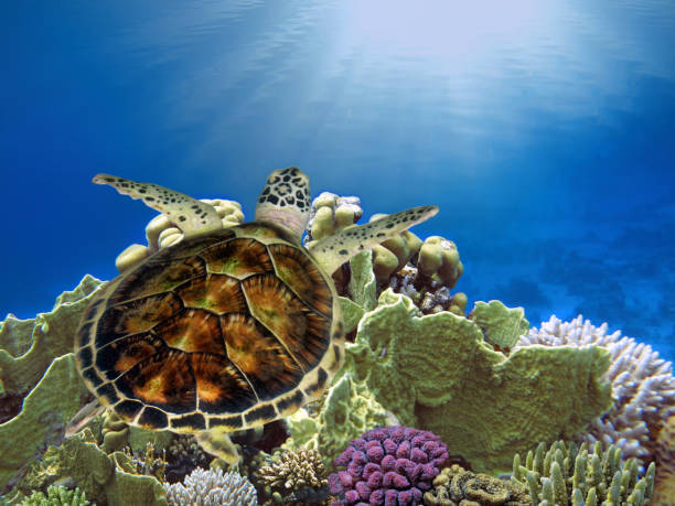 Hawksbill Sea Turtle underwater stock photo